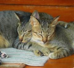 Nap Time (Steve4343) Tags: steve4343 cats cat koh samet kitty gray yellow black stripes feline thailand