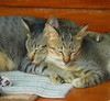 Nap Time (Steve4343) Tags: steve4343 cats cat koh samet kitty gray yellow black stripes feline thailand
