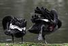 Peaceful preeners (PChamaeleoMH) Tags: anatidae birds blackswans centrallondon london preening stjamesspark swans