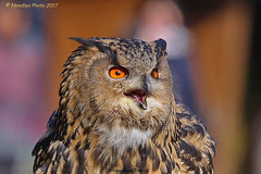 Uhu - Eurasian eagle-owl (Noodles Photo) Tags: uhu eurasianeagleowl greifvogelstationhellenthal wildfreigehegehellenthal hellenthal aves vogel bird strigiformes eule owl strigidae bubobubo canoneos1dmarkiii ef100400mmf4556lisusm deutschland germany