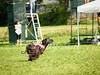 CoursingVillaverla2016w-043 (Jessica Sola - Overlook) Tags: dogs sighthounds afghanhounds greyhounds saluki barzoi italiangreyhounds irishwolfhounds lurecoursing lure race run dograces field greengrass