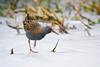 Water rail on ice (Susanne Leyh) Tags: waterrail bird animal wildlife britishwildlife nature natur tier vogel wasserralle nikon nikkor outside outdoors winter ice frozen pond lake fauna