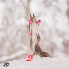 red squirrel climbing on a crutch and a snowboard (Geert Weggen) Tags: acrobat animal backlit branchplantpart bright cheerful closeup coldtemperature cute horizontal humor ice looking mammal nature photography pinecone red rodent ski skipole smiling snow sport squirrel sun olympic sweden tree winter wintersport woodmaterial games wintergames podium price win champion medal nut paralympic crank crutch snowboard bispgården jämtland geertweggen geert swedish ragunda