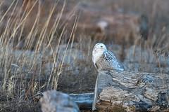 DSC_9782_edit (Hanzy2012) Tags: toronto ontario canada lesliestreetspit tommythompsonpark d500 afsnikkor500mmf4difedii bird wildlife snowyowl buboscandiacus