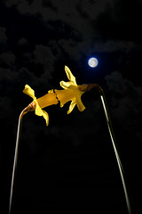 First kiss in the moonlight (PentlandPirate of the North) Tags: daffodils joysofspring love romance firstkiss moonlight sayingitwithflowers romantic