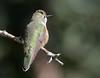 Broad-tailed Hummingbird -- Female (Selasphorus platycercus); Santa Fe National Forest, NM, Thompson Ridge [Lou Feltz] (deserttoad) Tags: bird wildbird newmexico wildlife hummingbird behavior nature nationalforest mountain