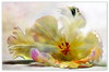 Tulpenblüte (Harald52) Tags: tulpe blüte pflanze natur