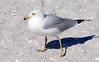 Ring-billed Gull, Adult (Larus delawarensis);  Englewood Beach, FL [Lou Feltz] (deserttoad) Tags: nature animal water park florida bird wildbird tern gull behavior beach