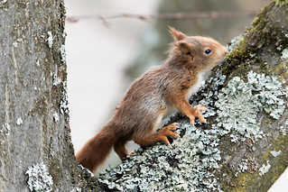Eichhörnchen Jungtier