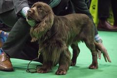 GAZ_1237 (garethdelhoy) Tags: dog sussex spaniel crufts 2018 kennel club