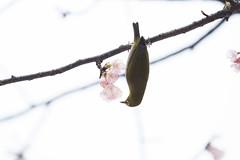 _3188218.jpg (plasticskin2001) Tags: mejiro sakura bird flower