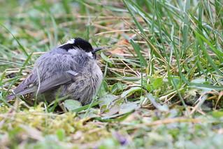 Mésange noire - Periparus ater - Coal Tit