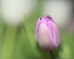 Tulpe (53Ruth) Tags: nikond750 tamron90mmf28 macro tulpe blume blüte pflanze blatt
