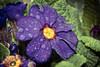 Rain-dappled flower (dusk_rider) Tags: 7dwf morning flower nikon d7200 nikkor 60mm f28d flora colour purple dusk rider