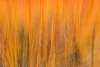 Cornus (Dogwood) ICM_2 (Graham Dash) Tags: heathergarden icm virginiawater windsorgreatpark intentionalcameramovement