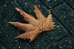 Autumn Leaf (lisamchugh44) Tags: autumn leaf amsterdam netherlands colour newly fallen brick detail color canon 70d