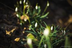Spring's Harbinger (janmalteb) Tags: bremen deutschland germany flower blume oster easter spring frühling petal floral grass green yellow orange nature natur canon eos 77d 50mm bokeh