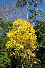 tree (abtabt) Tags: trinidadandtobago tt portofspain pos zoo tree flower d70085f18 yellow caribbean