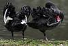 Itchy toes? (PChamaeleoMH) Tags: anatidae birds blackswans centrallondon london preening stjamesspark swans