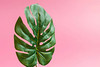 Close up of green leaf on bright pink background: Monstera (Fensterblatt) (wuestenigel) Tags: lay exotic nature concept abstract tropic background crafted plant beach creative hip view flat pattern art plants idea minimal vacation palm aerial above hipster leaves summer colorful green tree travel pink top trendy leaf heart greenery spring tropical paradise noperson keineperson natur blatt growth wachstum flora flower blume stilllife stillleben one ein blur verwischen disjunct disjunkt outdoors drausen color farbe bright hell sommer cactus kaktus