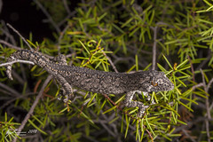 Southern Spiny-tailed Gecko (R. Francis) Tags: southernspinytailedgecko strophurusintermedius goonooforest ryanfrancisphotography ryanfrancis nsw newsouthwales