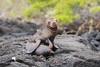 Galapagos Sea Lion D85_1724.jpg (Mobile Lynn) Tags: sealion wild marinemammals galapagossealion nature fauna mammal mammals otariidae wildlife zalophuswollebaeki postofficebayfloreanaisland galapagosislands ecuador ec coth specanimal coth5 ngc npc