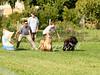 CoursingVillaverla2016w-020 (Jessica Sola - Overlook) Tags: dogs sighthounds afghanhounds greyhounds saluki barzoi italiangreyhounds irishwolfhounds lurecoursing lure race run dograces field greengrass