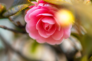 Whispers of Camellia