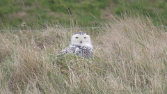 Snowy Owl (bubo scandiacus) (mrm27) Tags: owl snowyowl bubo buboscandiacus snettisham rspbsnettisham snettishamrspb rspb norfolk