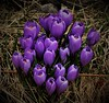 We've Something to Share(ABigFave) (Insearchoflight) Tags: first300lens floralwonders crocus purple flowers waynenorman stjohns newfoundlandandlabrador insearchoflight rooms chuches churchspires fromthesouthsidearterial naturessecrets springwonder