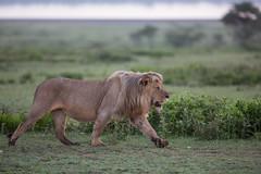 Striding Out! (Ring a Ding Ding) Tags: africa bigcat lion ndutu nomad pantheraleo serengeti tanzania action male nature predator safari walking wildcat wildlife arusharegion flickrbigcats ngc