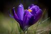 Krokus 5420 (Peter Goll thx for +6.000.000 views) Tags: d750 dechsendorf erlangen frühling korkuss natur nature spring macro bokeh krokus crocus