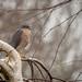 Sparrowhawk, male (Accipiter nisus)