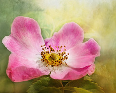 Summer rose. (Birgitta Sjostedt) Tags: rose closeup blossom dogrose unique art texture greetings greetingscard card text summer bright sunny macro flower