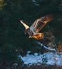 Hovering Immature (John Kocijanski) Tags: immaturebaldeagle eagle baldeagle bird birdofprey raptor animal wildlife nature canon70300mmllens canon7d odc thenaturalist