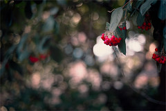 Cotoneaster (PhotoAtelier) Tags: beyondbokeh