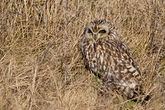 Short Eared Owl (PINNACLE PHOTO) Tags: seo owl meadow asioflammeus sitting eye squint bird feathered birdofprey raptor shortearedowl morning light longwing silent spring flight feather eyes wide kent martinbillard