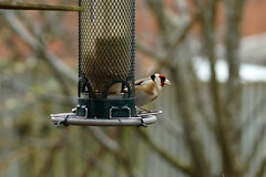 Hide and Seek (steve_whitmarsh) Tags: aberdeenshire scotland nature wildlife animal birds feathers goldfinch
