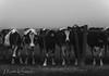 Curious Cows (Marsha Kirschbaum) Tags: dairycows landscape ©marshakirschbaum marincounty pointreyesnationalseashore dairyfarm blackwhite fog curious soulful sonyarii audience