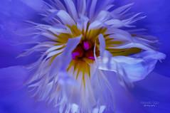 flower fantasy ... (mariola aga) Tags: flower plant peony petals macro closeup neon colors hue fantasy art
