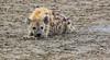 A Little Rest (AnyMotion) Tags: spottedhyaena tüpfelhyäne fleckenhyäne crocutacrocuta hyena 2018 anymotion ndutu ngorongoroconservationarea tanzania tansania africa afrika travel reisen animal animals tiere nature natur wildlife 7d2 canoneos7dmarkii