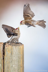 Common Redpoll (Acanthis flammea) (Wildlife, Landscape & Cultural) Tags: fighting action common redpoll acanthis flammea animal bird sky