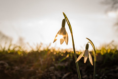 spring finally arrives (Danyel B. Photography) Tags: spring arrive no winter sun warm clouds sky bokeh schneeglöckchen galanthus flower light petal flooded rays