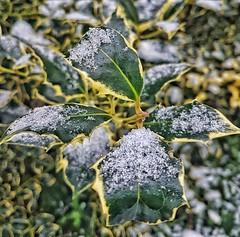 Holly!👍😁👍 (LeanneHall3 :-)) Tags: closeup closeupphotography holly snow green leaves eastpark hull kingstonuponhull samsung galaxys7edge