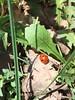 Coccinelle (odisseaspazio2001) Tags: ladybugs coccinelle