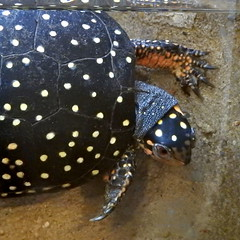 Spotted Turtle, Clemmys guttata (2) (Herman Giethoorn) Tags: spottedturtle reptile turtle