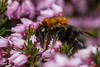 Tree Bumblebee - Bombus hypnorum -Queen (markhortonphotography) Tags: heathland queen markhortonphotography nature flower insect treebumblebee surrey hymenoptera wildlife thatmacroguy mite legup bee warning heather macro bombushypnorum invertebrate