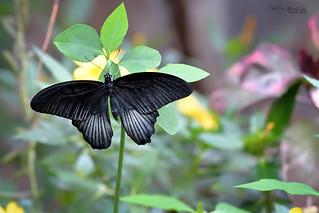 Papilio memnon ♂