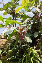 IMG_9852 (jaglazier) Tags: 2018 31518 berries florida march marieselbybotanicalgardens medinilla melastomataceae museums philippines plants red sarasota usa copyright2018jamesaglazier cummingii flowers gardens purple