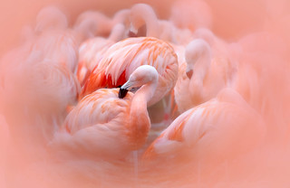 Slimbridge Flamingo's (Explored)